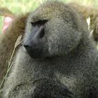 baboon - mating behavior