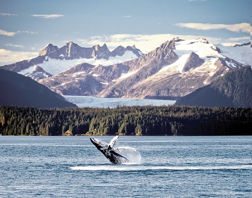 Mendenhall-Glacier-with-Whale.jpg - Watch whales breach the waters of Mendenhall Glacier in Alaska during a sailing on American Cruise Lines.
