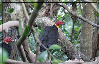 Photo: Sitting in trees at Cassowary house © NF Photo 140907 http://nfaubird.blogspot.se/2015/01/australian-brush-turkey-alectura-lathami.html