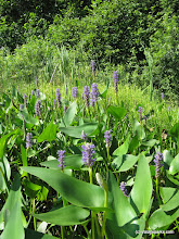 Photo: Pickerelweed at Ricker Pond State Park, by Debbie Thomas