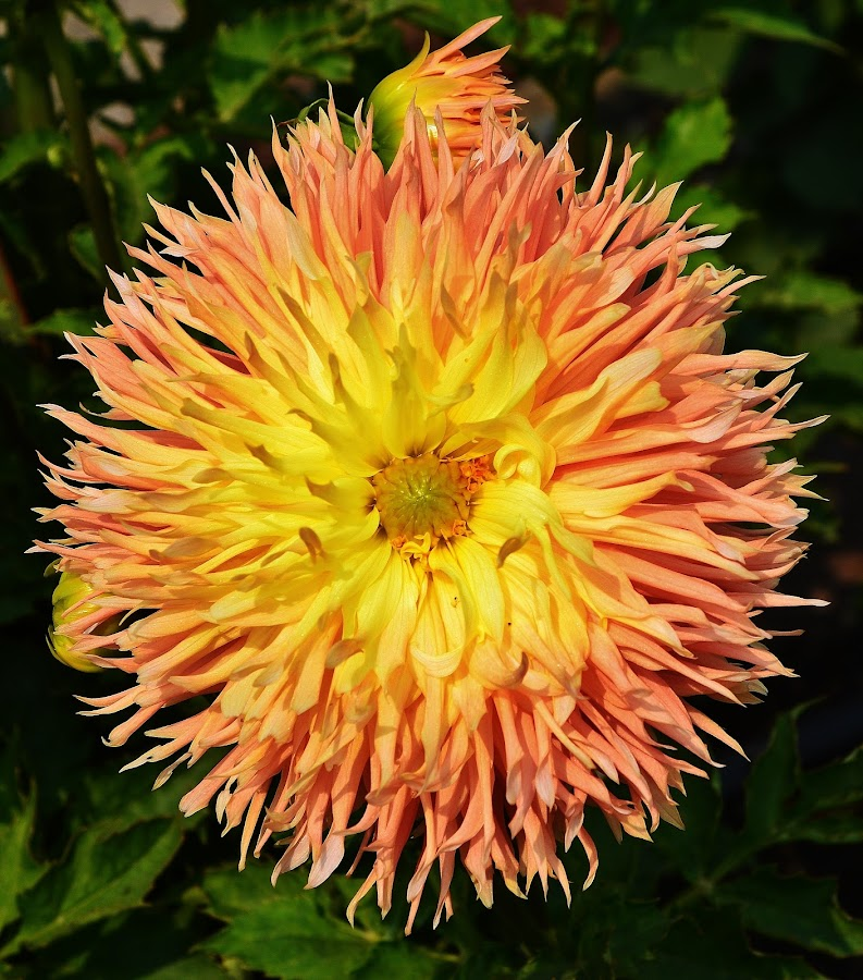 Dahlia by Thomas Barr - Flowers Single Flower