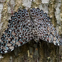 Mariposa tronadora - Variable Cracker