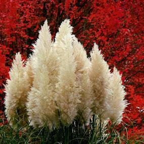 Fall pampas grass and red tree by Liz Hahn - Nature Up Close Leaves & Grasses (  )
