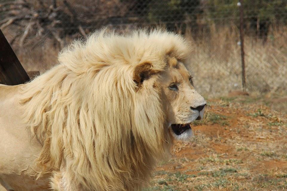 Johannesburg, Etelä-Afrikka, Lion Park