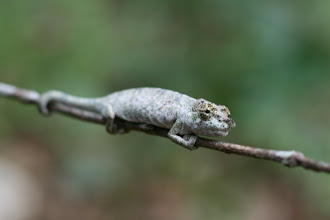 Photo: Yet another cameleon species I can't remember the name off, but always fascinating! (Trude's photo)