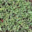 Unknown groundcover