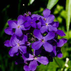 Purple by Lyn Simuns - Flowers Flowers in the Wild ( wildflower, purple, colorado )
