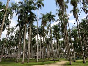 Photo: Paramaribo - Palmentuin (royal parm garden)