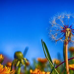 Dandelion Darts.jpg