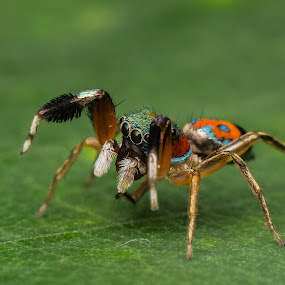 colour spider by Jack Chong - Animals Insects & Spiders ( landmark, travel )