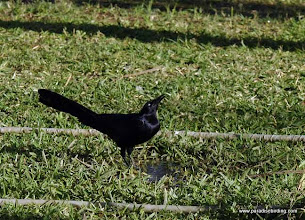 Photo: Greatr-tailed Grackle drinking from a puddle