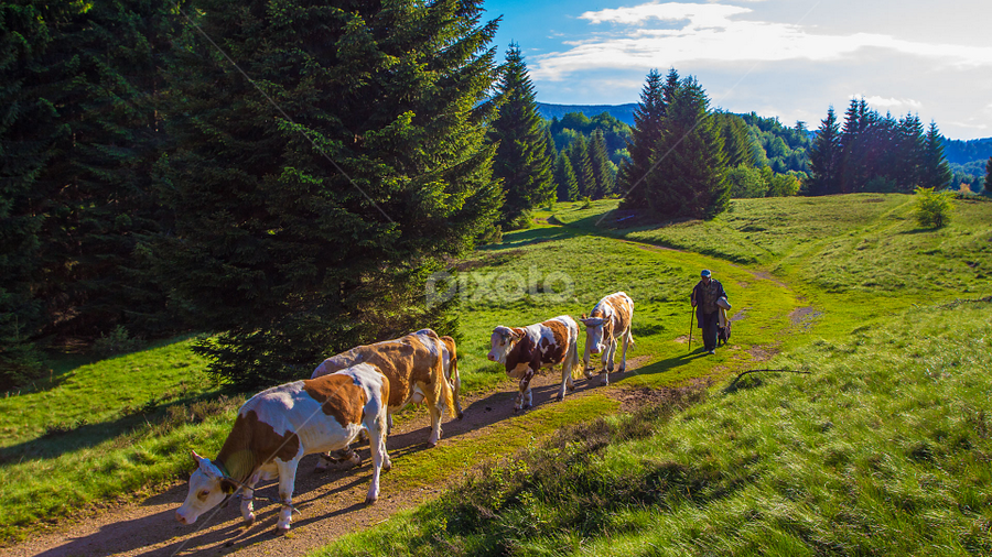 A shepherd and cows going home by Stanislav Horacek - Landscapes Prairies, Meadows & Fields