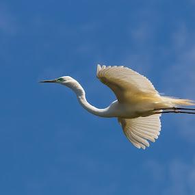 Egret by Steve Hunt - Animals Birds ( queensland, australia, bundaberg, egret,  )