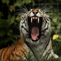 New Tiger Images LiveWallpaper icon