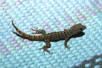 Photo: 17 Gonatodes albogularis (male, juvenil), Esquinas Rainforest (08°42´/-83°12´), 02.07.2008, Author Erwin Holzer, det. Gerardo Chaves