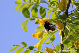 Photo: a carpenter bee?