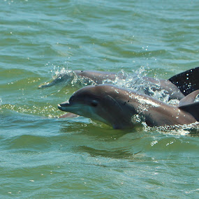 Baby Dolphin by Liesl Ross Photos - Animals Other Mammals ( dolphin, mother, ocean, baby, cute, swimming )