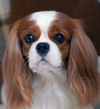 "Photo: Cavalier King Charles Spaniel ""Cash"" (3 y.o.)"