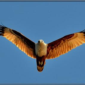 Bhraminy Kite by Subroto Mukherjee - Animals Birds ( flight, kite, indian, brown, birds )