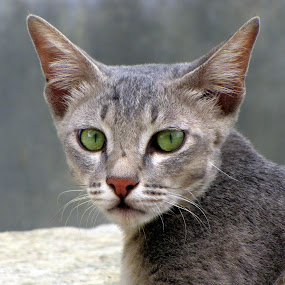 Staring Cat Eye Ear Nose soft fur by Ashish Bikram Thapa - Animals - Cats Portraits