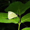 Large white (πιερίς του λαχάνου)