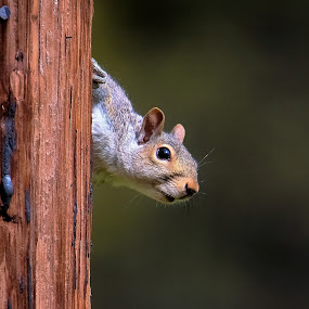 Hide and seek by Sue Delia - Animals Other ( playing, wild, pole, squirrel, animal,  )