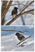 Photo: 撮影者:久保山嘉男 クロジ タイトル:クロジ 観察年月日:2014/2/10 羽数:1羽 場所:小宮公園 区分:希少種 メッシュ:八王子 コメント:雪の積もった木道を歩いていると、足元から木へ飛び上がった鳥がいたので、アオジかなと思って双眼鏡で見ると、クロジだった。小宮公園で見るのは珍しい。