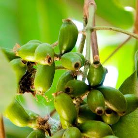 Unripe Asian Berries by Roshan Tabasum - Nature Up Close Gardens & Produce ( fruit, season, tree, berries,  )
