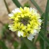Berteroa Orbiculata