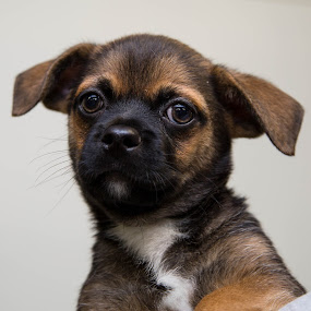 Ricardo by Michele Williams - Animals - Dogs Puppies ( cheeky, adopt, rescue, puppy, cute, dog,  )