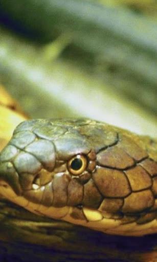 ヘビの壁紙