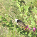 White-headed marsh tyrant