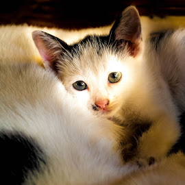 Lighten Cat by Vicmar Calajatan - Animals - Cats Kittens ( kitten, light, cat, animals, cute )