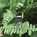 Mariposa de cristal, glasswinged butterfly