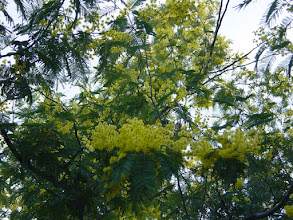 Photo: Hojas y flores de mimosa (Acacia dealbata)