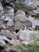 Photo: De Dormillouse à Prapic: dame marmotte est occupée sur son rocher