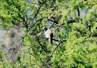 Photo: Picui ground-dove - La Campana National Park -  Chile - Nov 15, 2010