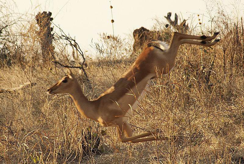 antelope-Impala-dance-5.jpg