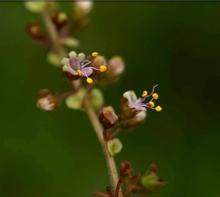 Holy basil (flower)