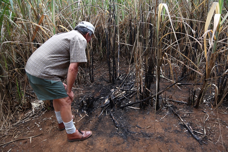 A farmer, who was on a fishing outing with his grandson, found the body of Siam Lee. Here he points out her final resting place in a field of sugarcane.