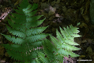 Photo: Big green ferns at Woodford State Park by Bill Steele