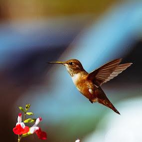 by Anna Trandeva - Animals Birds ( anna trandeva, flower, humming bird, in flight, colours,  )