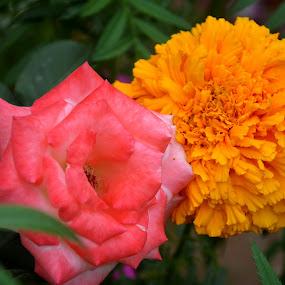 Pink & Yellow Flowers by Umair Nayab - Flowers Flower Gardens ( greenery, pink rose, flowers, garden, yellow flower,  )