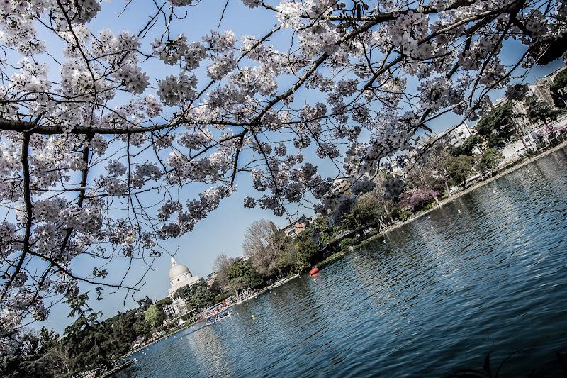 La fioritura dei ciliegi al Laghetto dell'Eur di Roma di mapi2019
