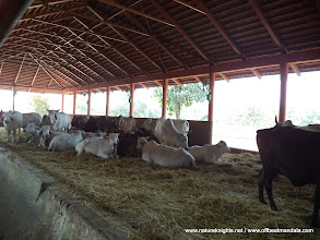 Photo: Cow Sheds..