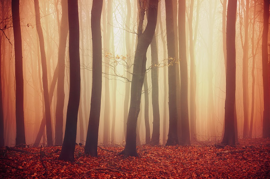 If These Trees Could Talk LVII. by Zsolt Zsigmond - Landscapes Forests ( autumn, fog, fall, trees, forest, woods, mist )