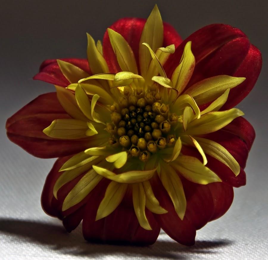 Dahlia Awakening by Daggi Meyer - Nature Up Close Flowers - 2011-2013