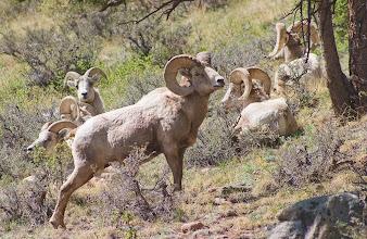 Photo: A herd of Bighorn Sheep