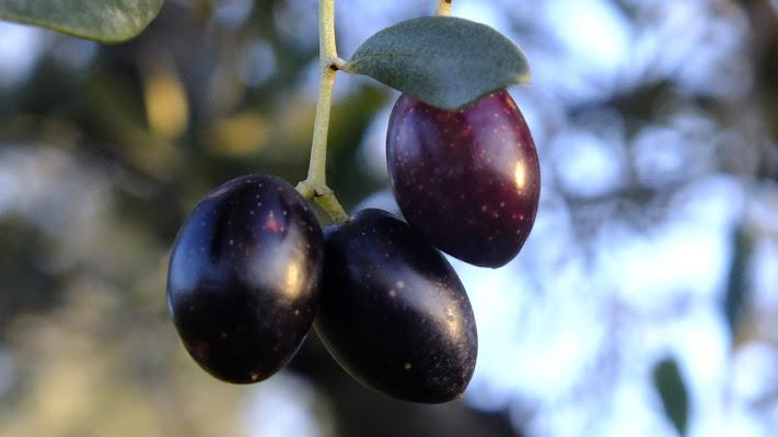 le olive di biloscurio