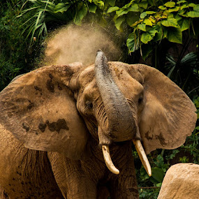 Dust off by Gregg Pratt - Animals Other Mammals ( elephant )